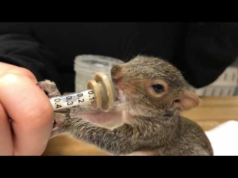 Feeding a baby gray squirrel is one of the cutest things I've ever seen