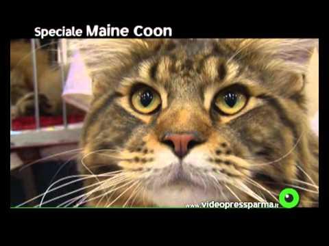 Speciale Maine Coon (a cura di Rose Ricaldi)