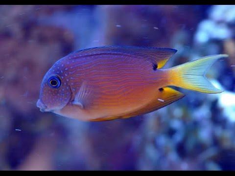 Bristletooth Tang Best Algae Eater,  Marine Fish And Reef Safe