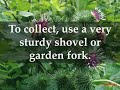 HOW TO GROW BURDOCK AT HOME