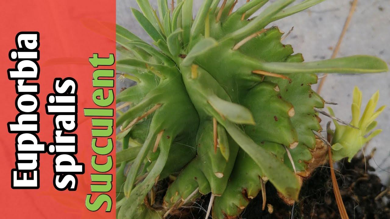 Euphorbia spiralis  Plants   แนะนำไม้อวบน้ำ