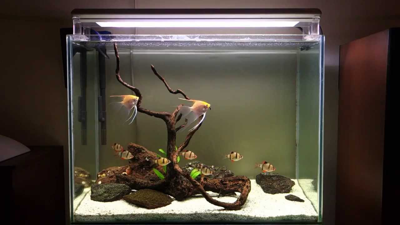 Hardscape For Angels With Tiger Barbs Youtube