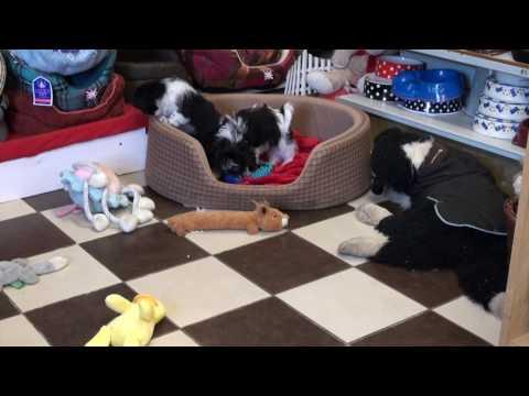 Little Rascals Uk breeders New litter of Cavatzus