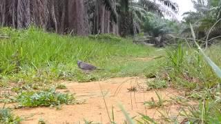 Pikat Burung Terkukur Pake Alat Yang Sederhana