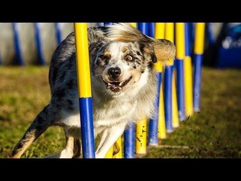 Such a smart agility dog :)