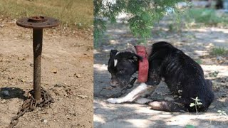 This Starving Pup Was Being Used As Bait By Barbaric Handlers, So Rescuers Were Shocked Into Action