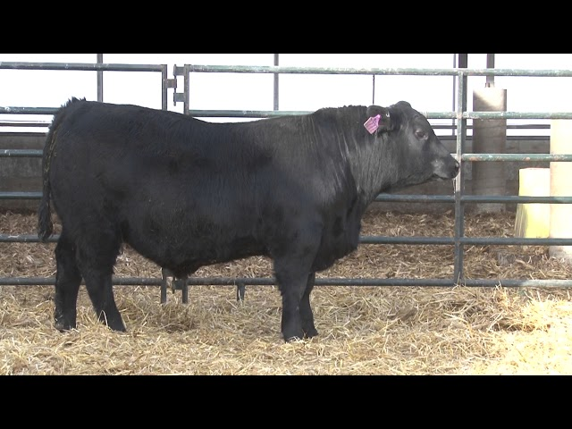 Schiefelbein Angus Farms Lot 59
