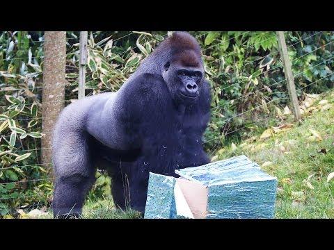 Kumbuka enjoys birthday party in Gorilla Kingdom