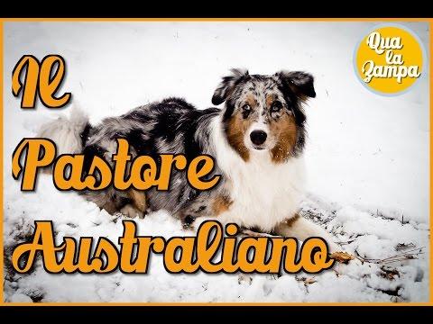 Il Pastore Australiano | Qua la Zampa