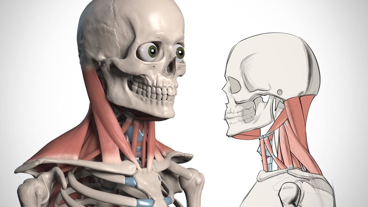 How To Draw The Neck Anatomy For Artists Youtube