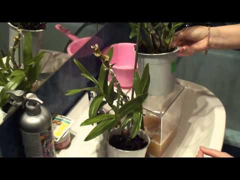 Как обработать орхидею Актарой. Мучнистый червец mealybug