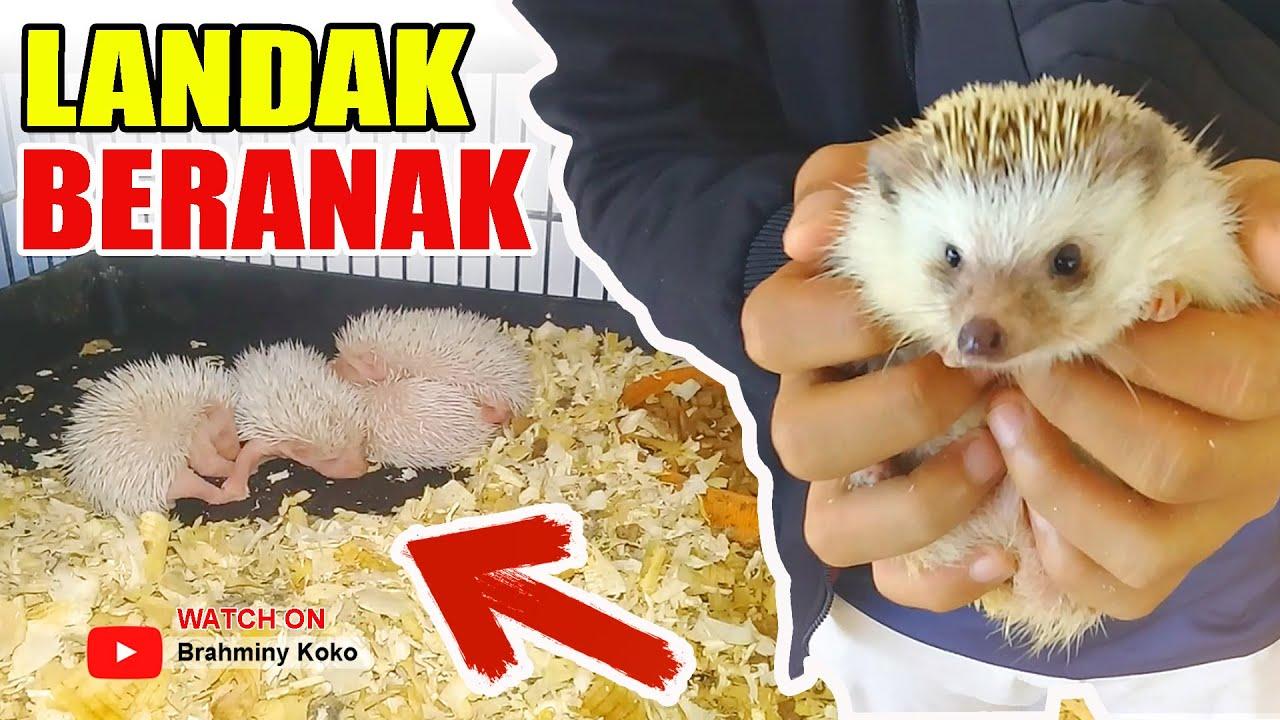 Landak Mini Beranak Hedgehog Got Babies Youtube