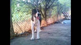 central Asian shepherd dog (Greece)-ποιμενικός κεντρικής Ασίας