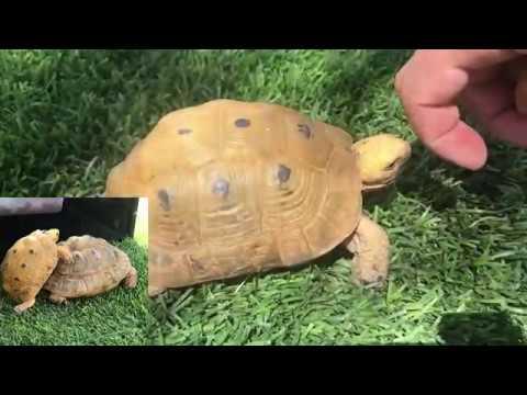 "Unboxing Greek Tortoises ""Golden Greek Variety "" Testudo Graeca"