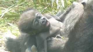 2013.05.25撮影 上野動物園のゴリラの赤ちゃん、2013.4.24生まれ、生後...