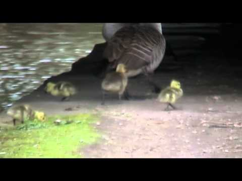 Wildlife on the canal (Ashton And Stalybridge)