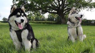 AO Malamutes 1/3  Introduction to the breed (Alaskan Malamute)