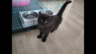 【宠小猫】新買來的孟買小黑貓高興就撒歡的玩餓了就放開的吃
