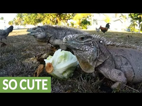Iguana and chicken showdown over head of lettuce