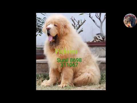 Tibetan Mastiff for sale in Mumbai delivery all india available..