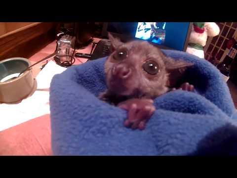 """Gizmo"" the baby Galago ( Bushbaby)"