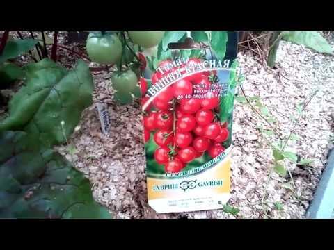 Обзор сортов томатов  Красная и Черная вишенка.