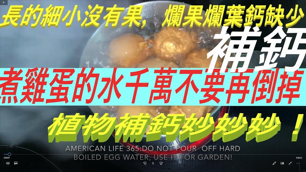 煮雞蛋的水千萬不要再倒掉!用它#植物補鈣 妙妙妙!長的細小#爛果爛葉都因鈣缺少Save Hard Boiled Eggs Water to Make Calcium Spray For Garden