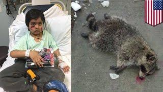 Сосед убил енота, напавшего на мальчика