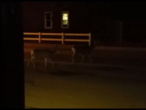 Wyoming Deer In The City Limits
