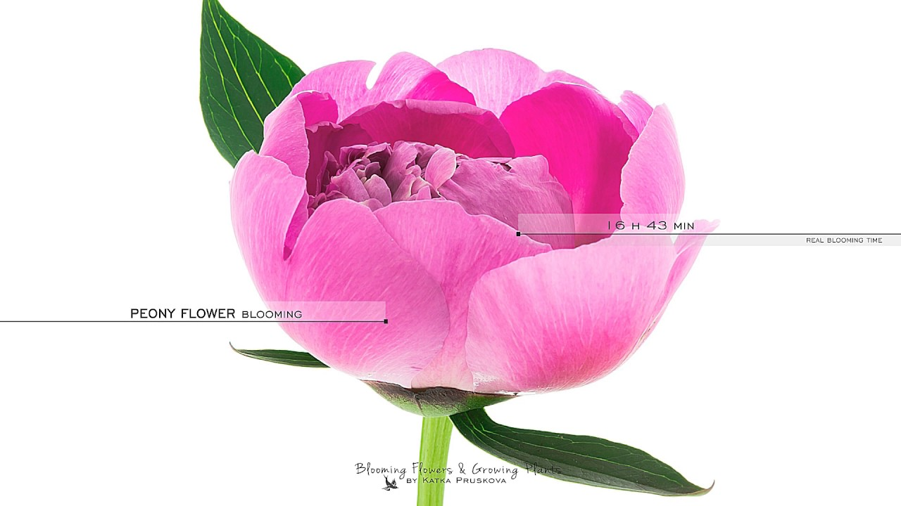 Pink Peony Flower Blooming Youtube