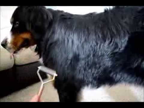 How to Groom a Bernese Mountain Dog