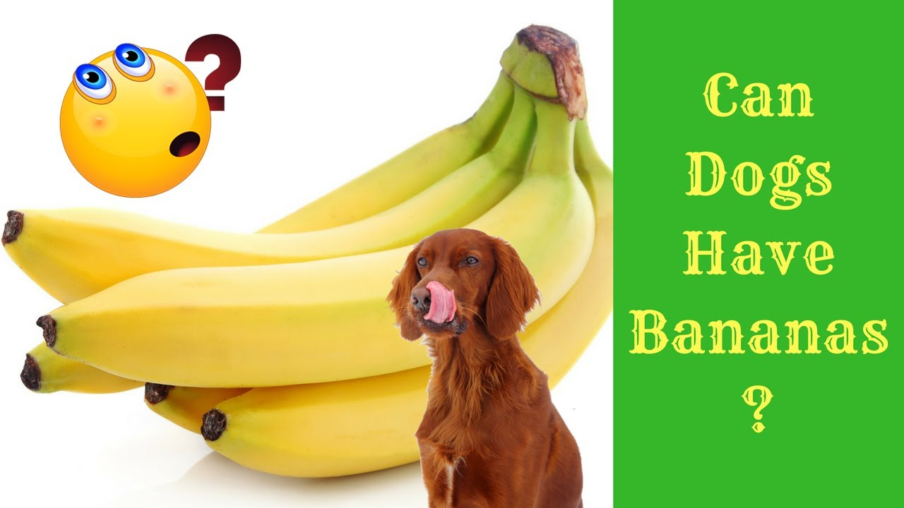 Can Dogs Eat Bananas Youtube