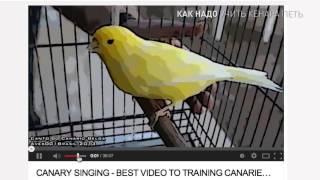 как надо учить кенара петь