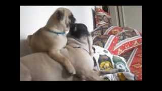 How to annoy a pug mum