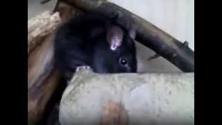 Çatı sıçanı ilaçlama aydın, aydında fare ilaçlama, aydında etkili kesin çözüm fare ilaçlama Video