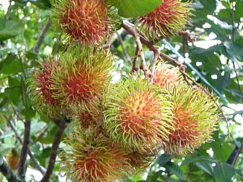 rambutan tree,rambutan fruit,tropical fruits,tropical fruits tree, Beautiful flower