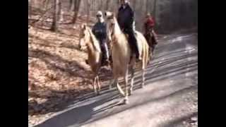 Palomino walking horses for sale in Va Buckskin spotted saddle horse on road