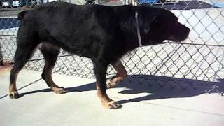 Jasmine The Rottweiler/terrier Mix