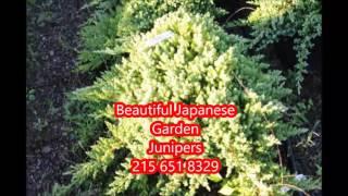 Video Beautiful Japanese Garden Junipers for Landscapes In Bucks County download MP3, 3GP, MP4, WEBM, AVI, FLV Juli 2018