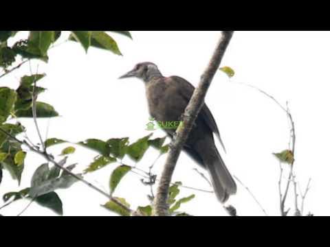 Suara Burung Kepodang Muka Hitam