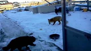 Cat vs Fox  who will win?