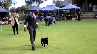 Aus Ch No Ordinary Affair - Iza 15 M Staffordshire Bull Terrier
