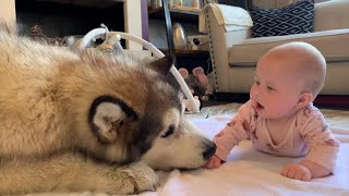 Giant Dog Wants To Play With Baby (Cutest Video Ever!!)