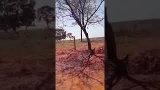 Impressionante a árvore que chora só vendo para crer