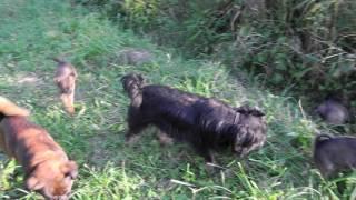 Щенки брюссельского гриффона и пти-брабансон на прогулке