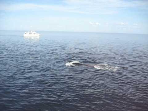 Balene Nel San Lorenzo (Quebèc)