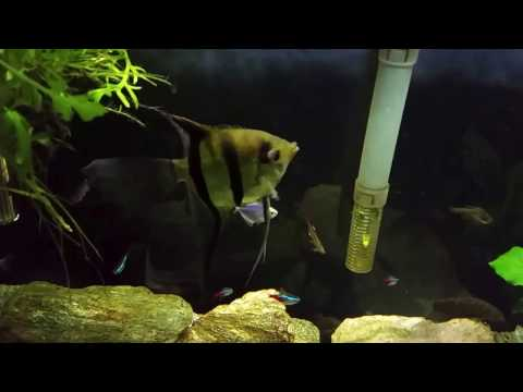 Aggressive Angelfish In My 29 Gallon Planted Tank