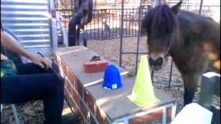 SMART mini horse learning match to sample