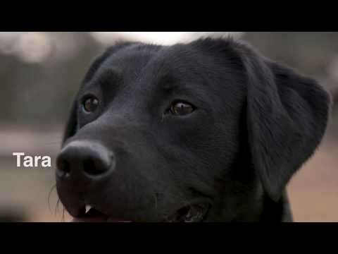 Mossy Oak Kennel's Finished British Labrador - Drummuckhill Suir