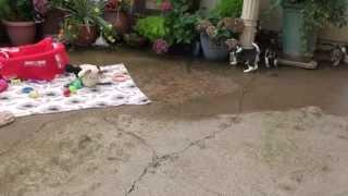 Little Rascals Uk Breeders New Litter Of Stunning Beagle Boys And Girls